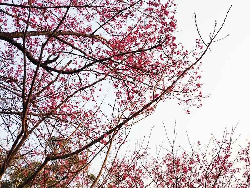 太極嶺櫻花步道